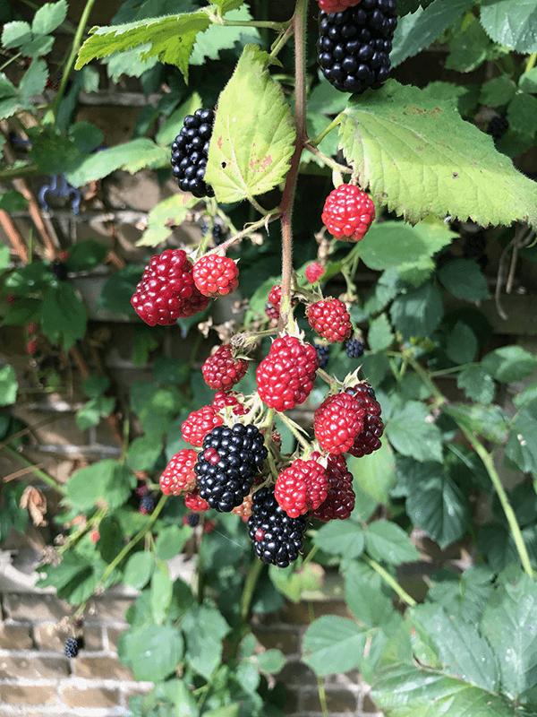Gut Leben im Landresort Birkholz ein Gebüsch Brombeeren
